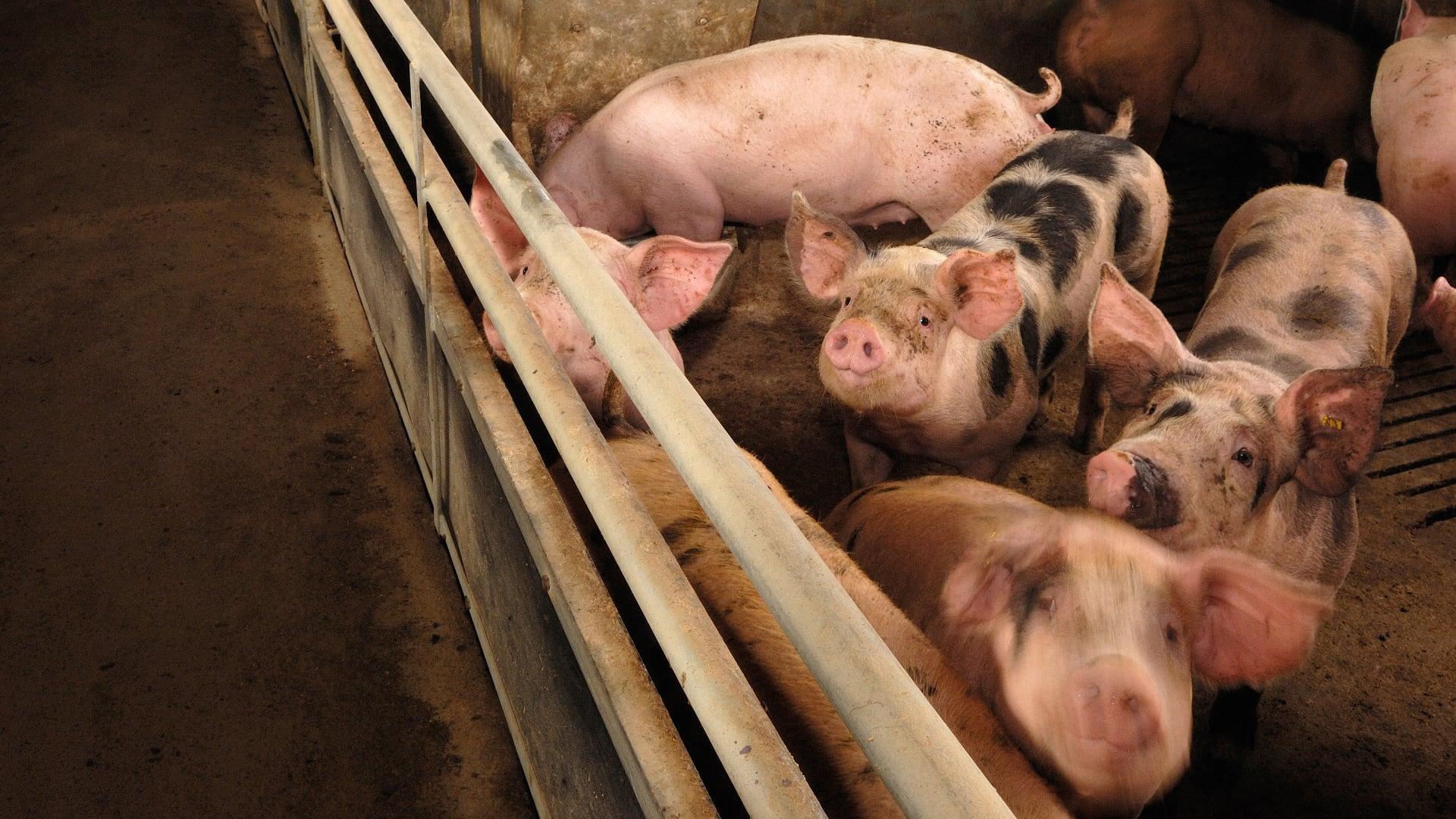 Livestock odour measurement